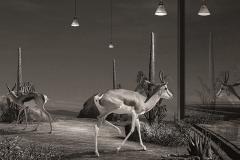 11_Antilopes dans une Vitrine