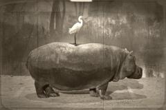 12_Hippo et Aigrette
