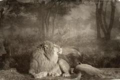 13_Lion Couple