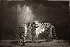 6_Deux Tigres et Ampoule